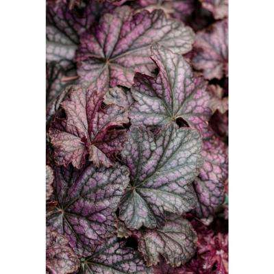 Dolce Blackcurrant Coral Bells (Heuchera) Live Plant, Purple-Black Foliage, 0.65 Gal.