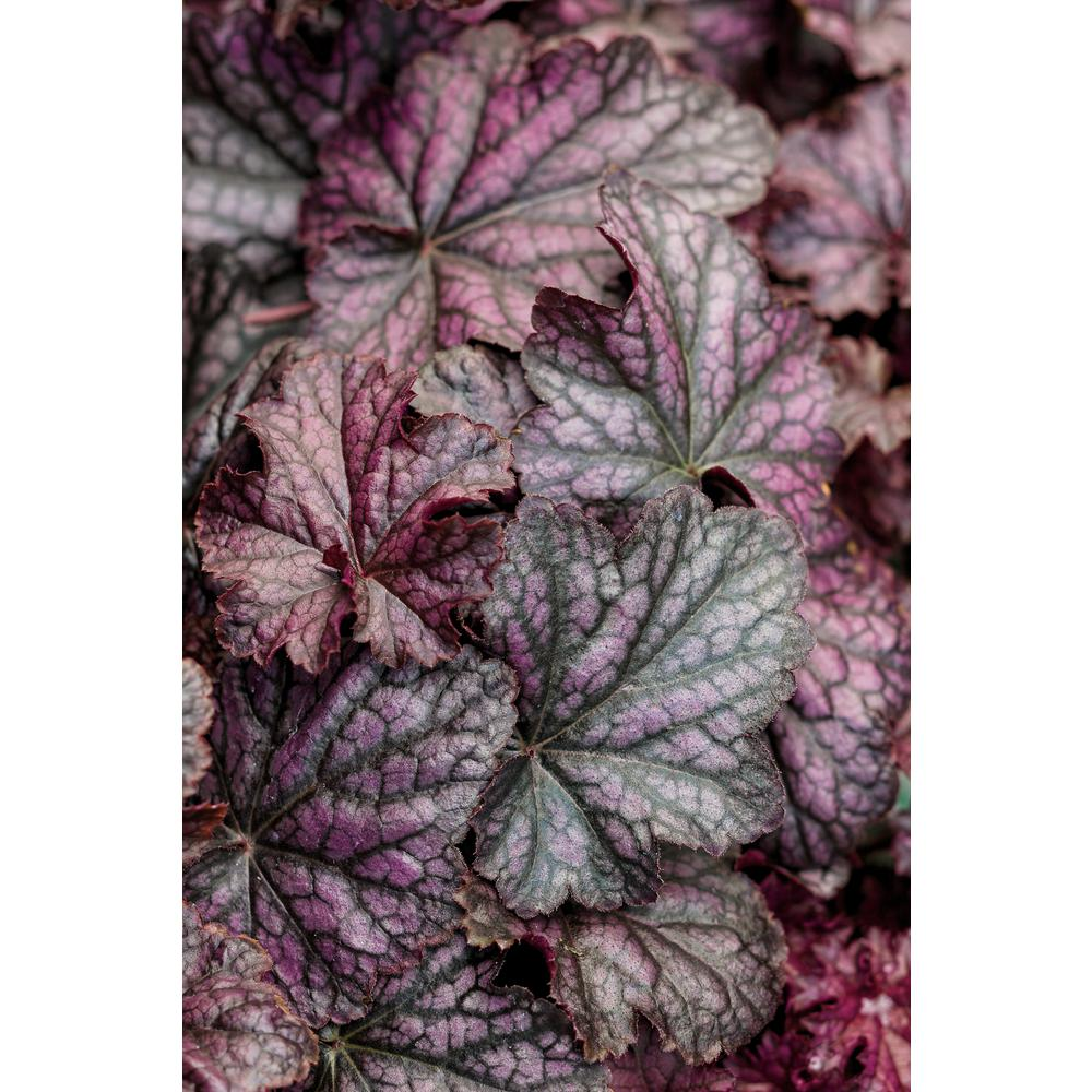 Proven Winners 45 in qt Dolce Blackcurrant Coral Bells