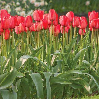 Tulip Red Impression Bulbs (100-Pack)
