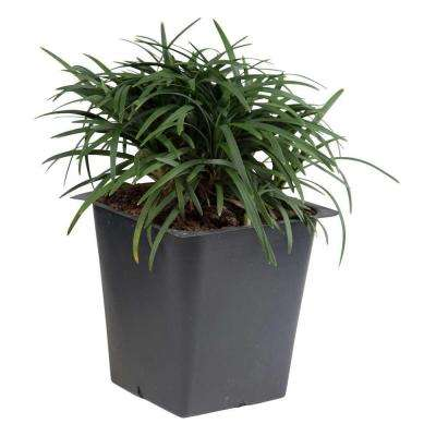 Dwarf Mondo Grass 3 1/4 in. Pots (18-Pack) - Groundcover Plant