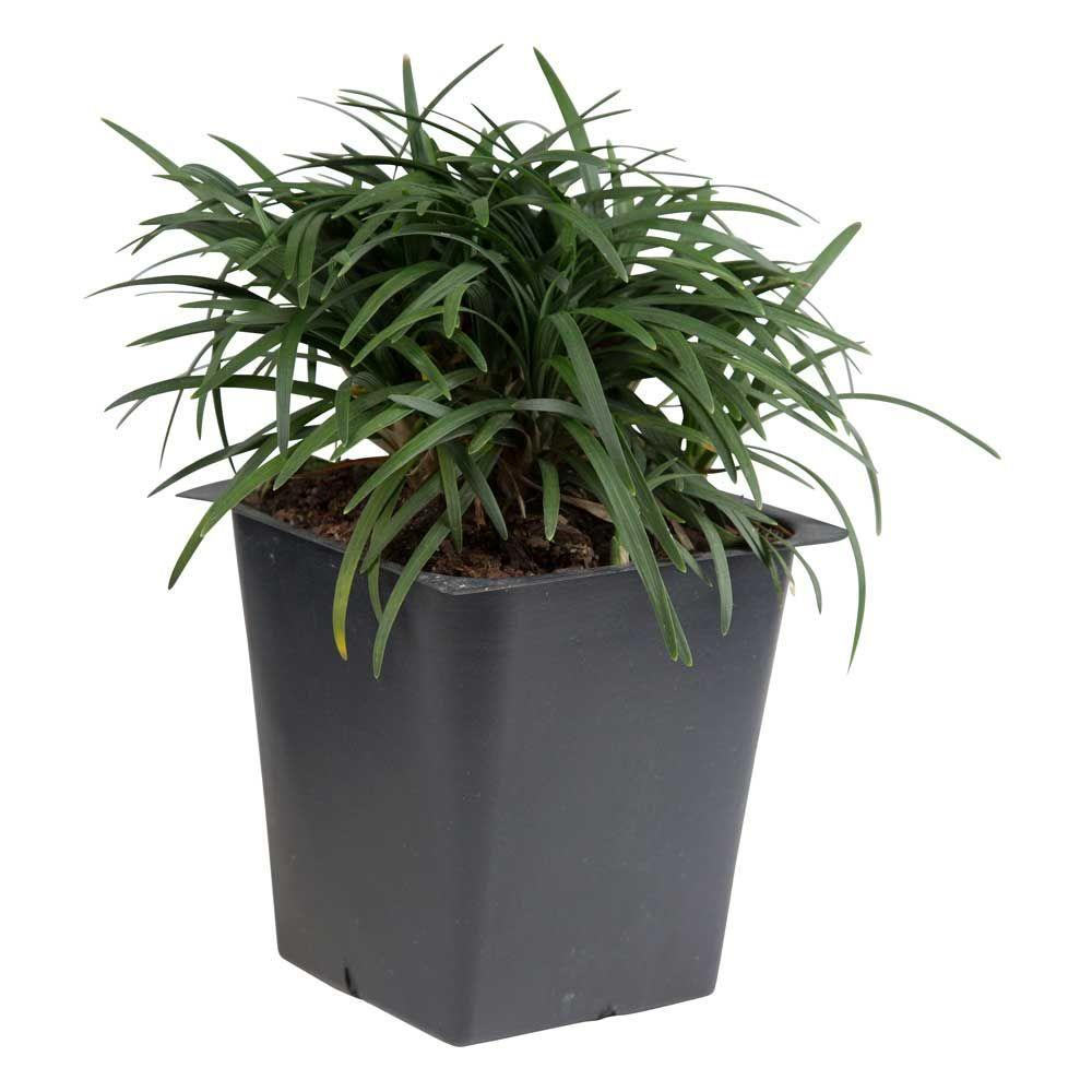 Ornamental Grasses Garden Plants Flowers The Home Depot Love Potted Decorative Dwarf Mondo Grass 3 1 4 In Pots 54 Pack