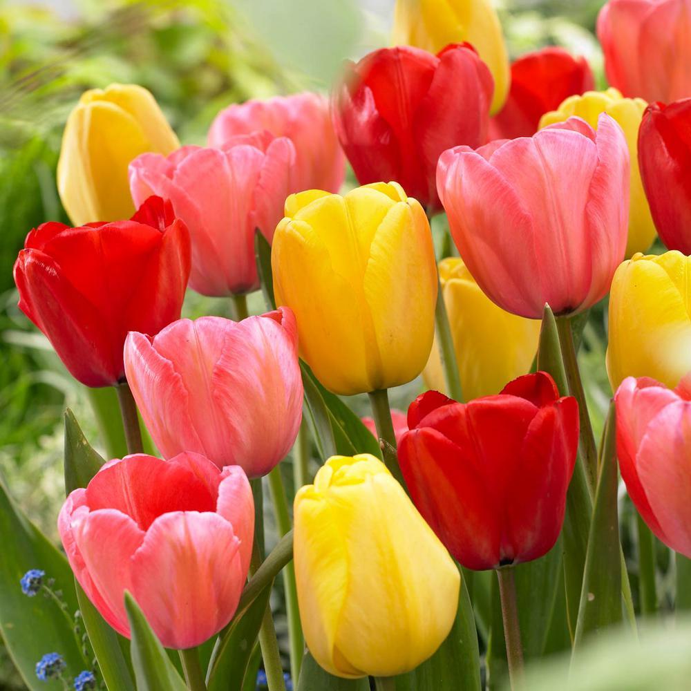 Tulip Darwin Hybrid Mix Bulbs (25-Pack)