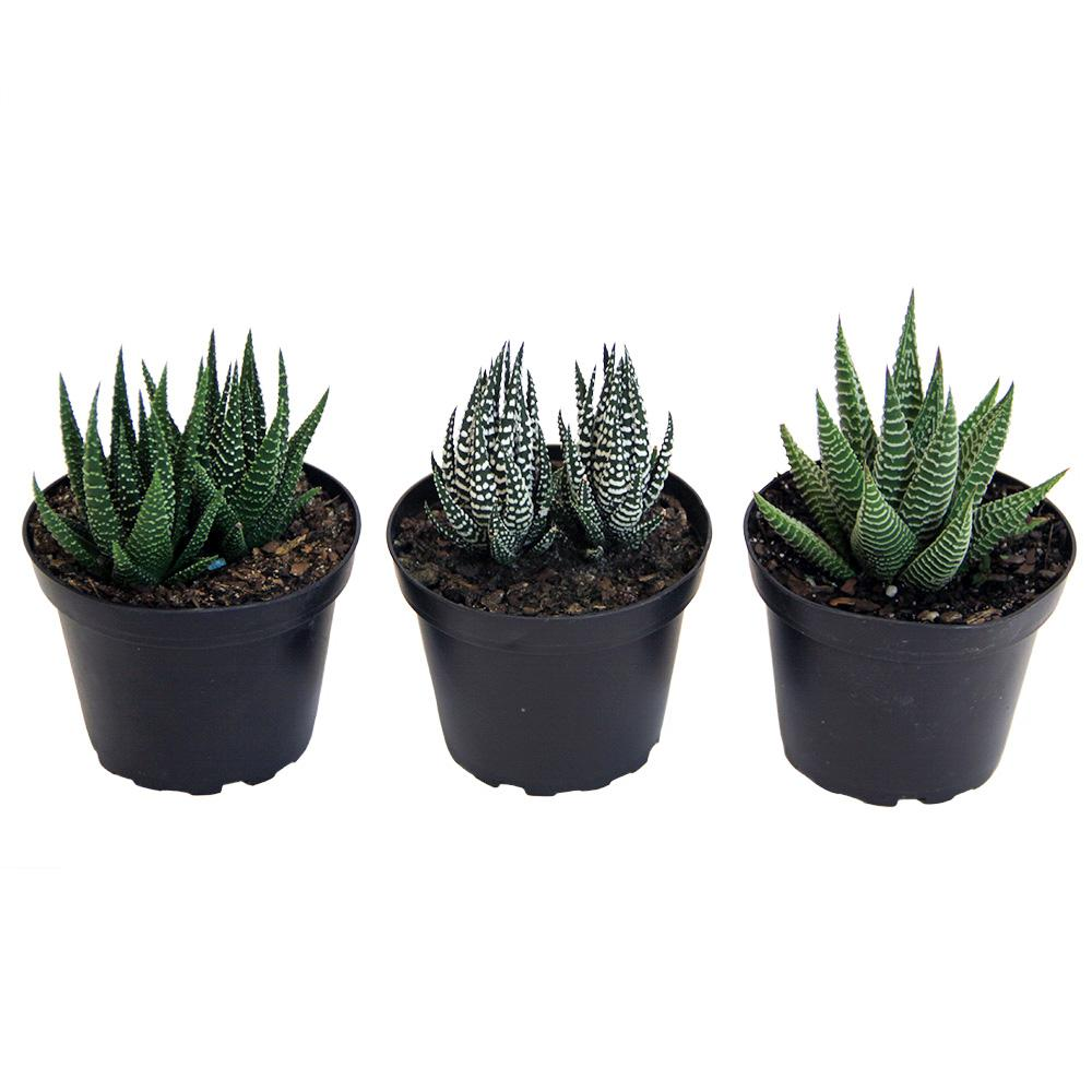 Costa Farms Haworthia Succulent Assortment In 4 In Grower