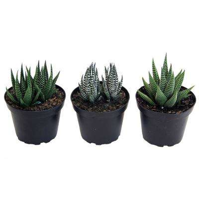 Haworthia Succulent Assortment in 4 in. Grower Pot (3-Pack)