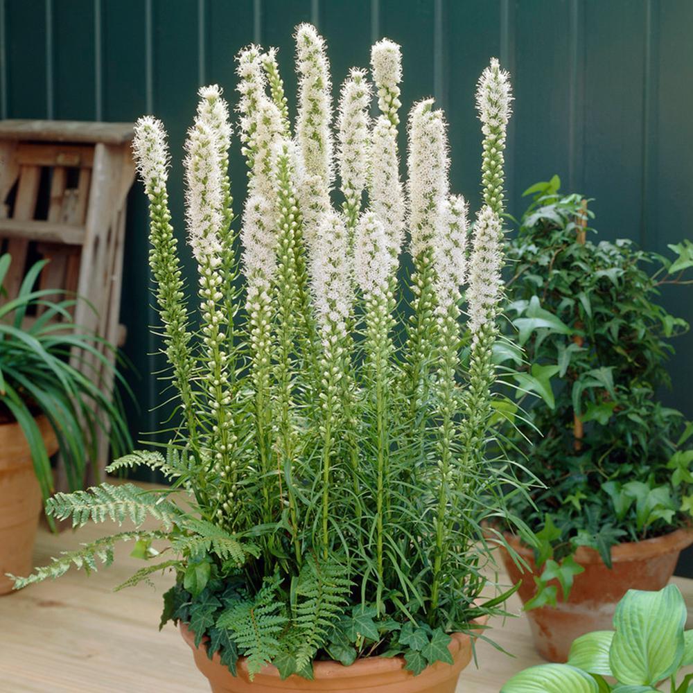 10 Liatris spicata alba Bulbs