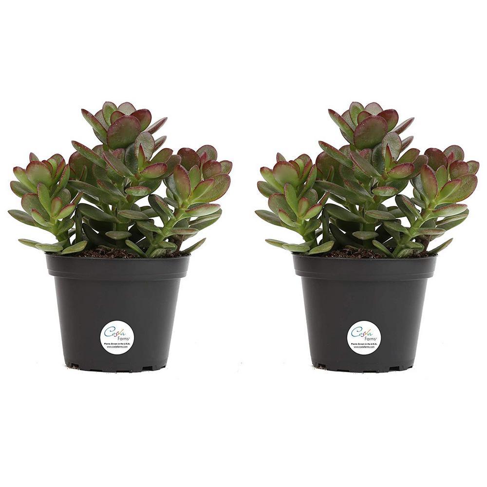 4 in. Jade Crassula Succulent in Grower Pot (2-Pack)