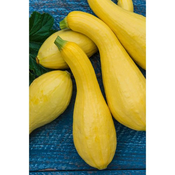Gurney S Summer Squash Gentry Hybrid 25 Seed Packet 66557 The Home Depot