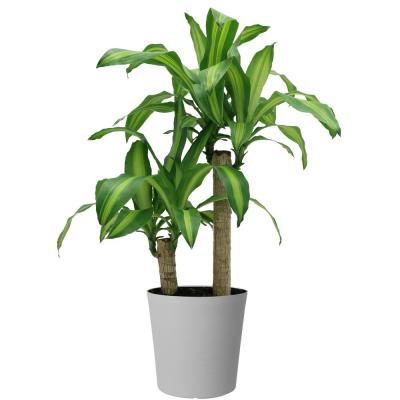 Mass Cane in 8.75 in. Gray Decor Pot