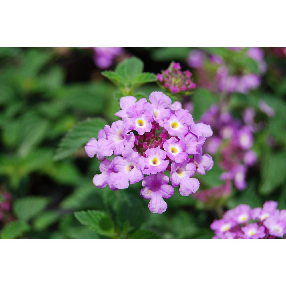 Costa Farms 1 Qt Purple Lantana Flowers In Grower Pot 4 Pack