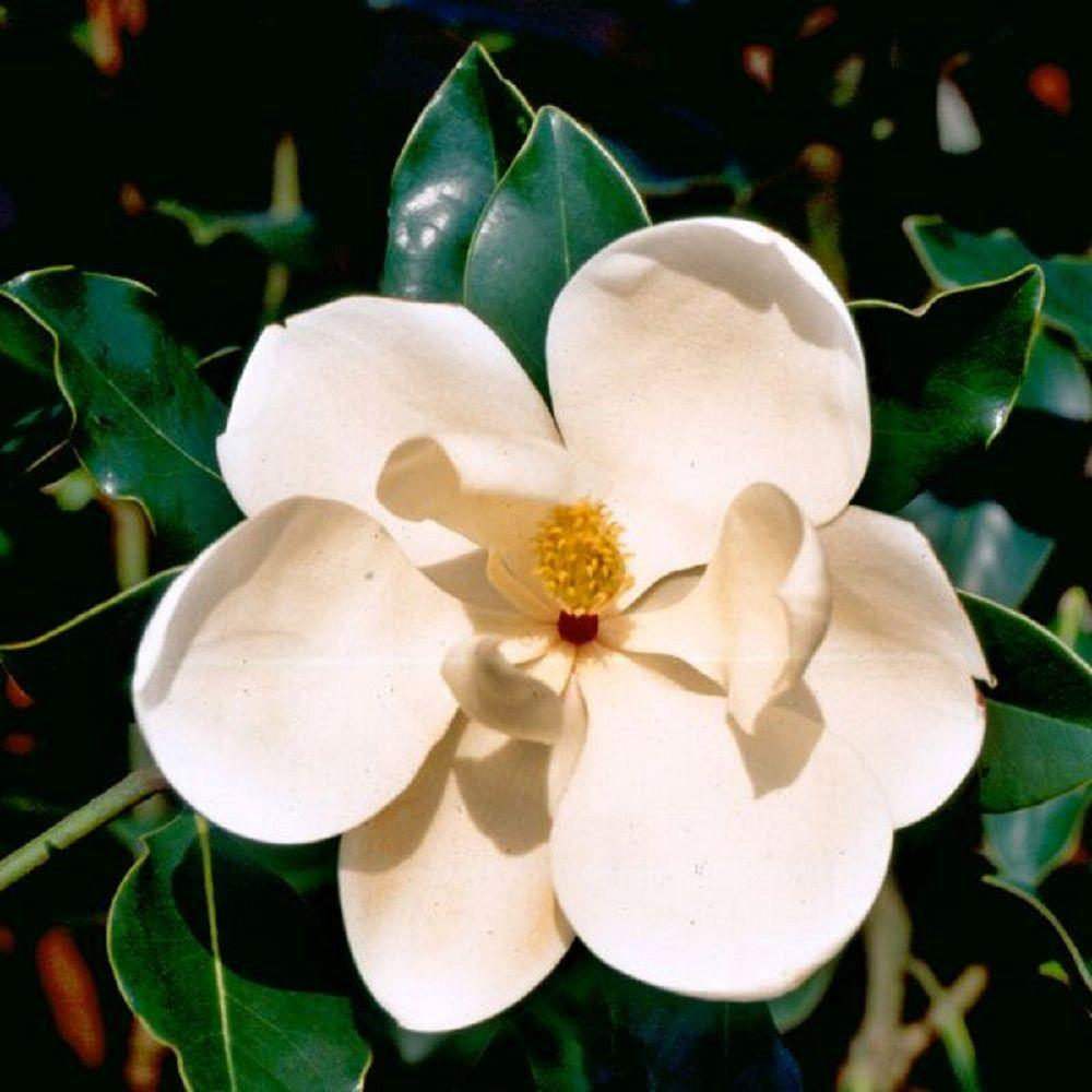 7 Gal. Little Gem Magnolia, Live Evergreen Tree, White Fragrant Blooms