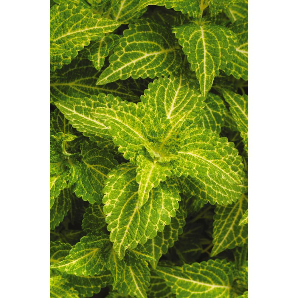 National Plant Network 4 In Electric Lime Green Coleus Plant 3
