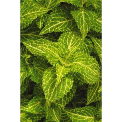 4 in. Electric Lime Green Coleus Plant (3-Piece)