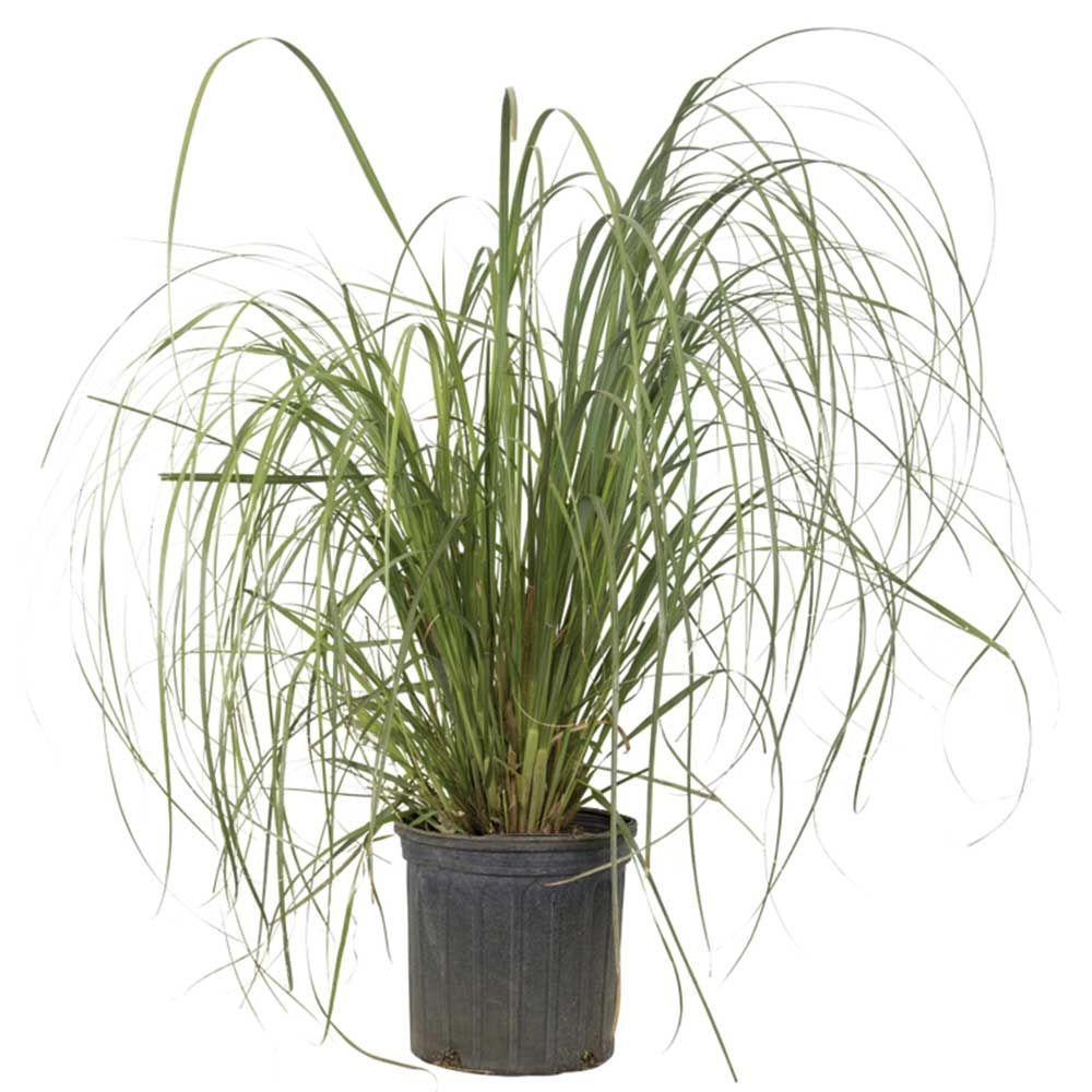 Vigoro 925 in pot pampas grass with sandy white blooms live pot pampas grass with sandy white blooms live evergreen grass mightylinksfo