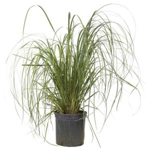 9.25 in. Pot - Pampas Grass With Sandy White Blooms, Live Evergreen Grass