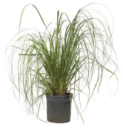 3 Gal. Pampas Grass With Sandy White Blooms, Live Evergreen Grass