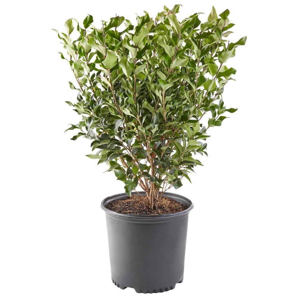 2.25 Gal. Ligustrum Recurvifolium Privet Shrub