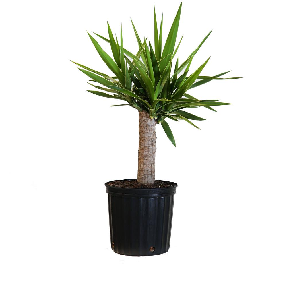 United Nursery Yucca Cane Plant in 9.25 in. Grower Pot