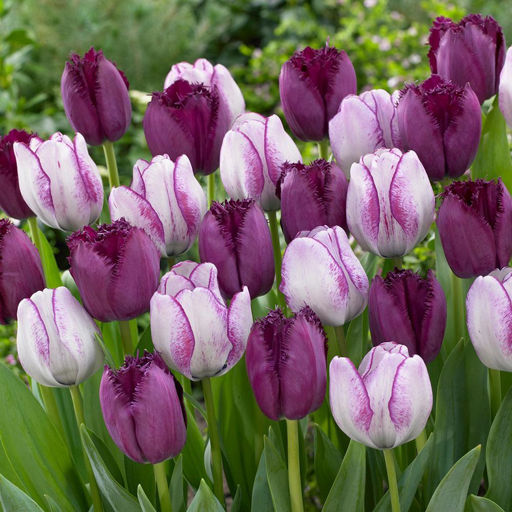 purple tulip flower bulbs garden plants flowers the home depot