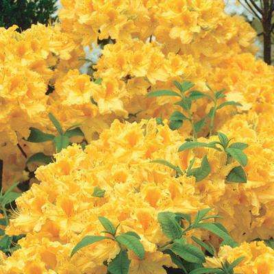 Yellow shrubs trees bushes the home depot pot golden lights azalea rhododendron live deciduous plant yellow mightylinksfo