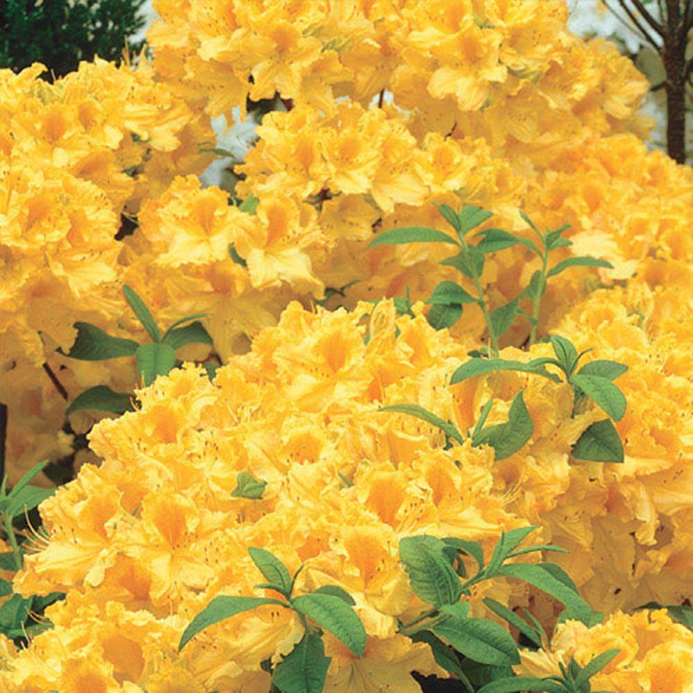 Spring Hill Nurseries 2 In Pot Golden Lights Azalea Rhododendron