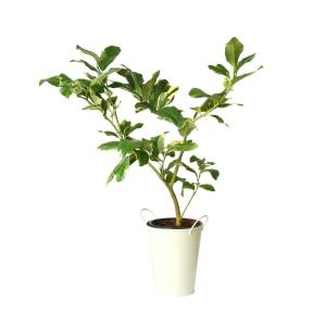 Fig Trees in Decorative Planter