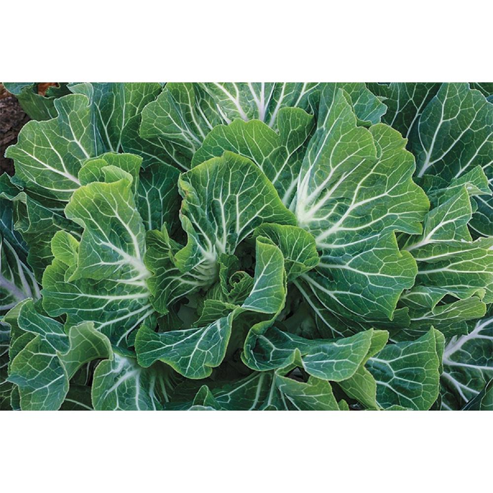 Sea Kale Beira (Tronchuda), (100 Seed Packet)