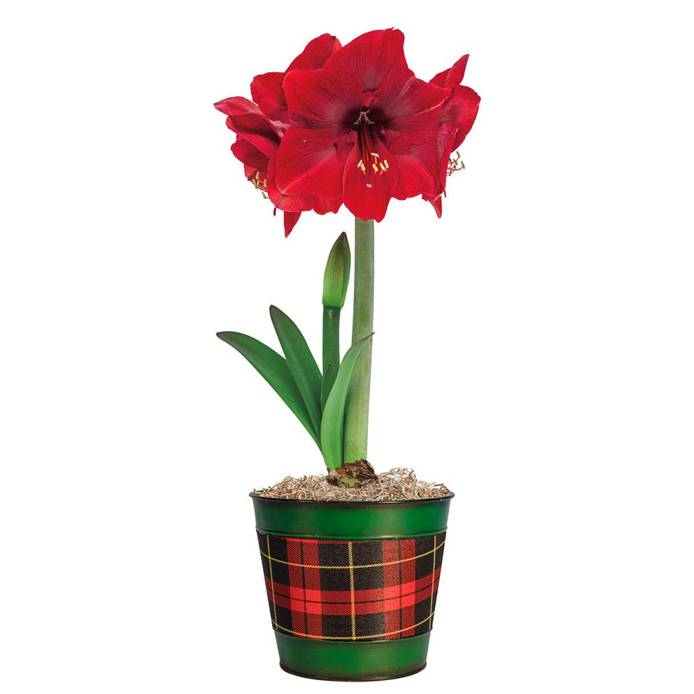 Miracle Amaryllis Hippeastrum Bulbs with 15 in. W Decorative Plaid Planter (3-Bulbs, 1-Pot)