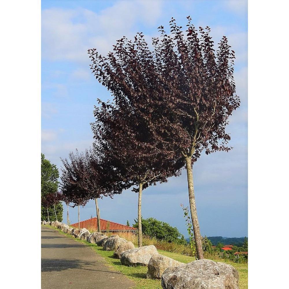 Vesuvius Flowering Plum Tree (Bare Root, 3 ft. to 4 ft. Tall)