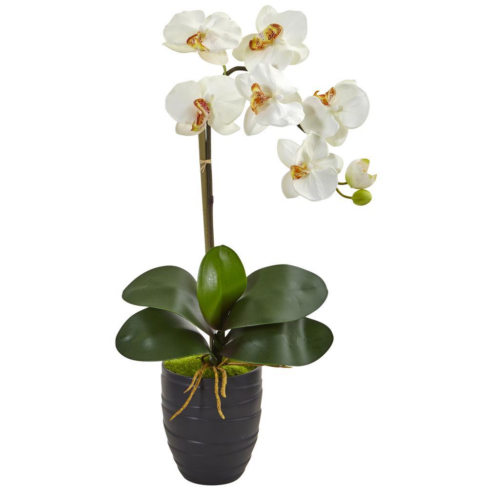 Indoor Phalaenopsis Orchid in Black Vase