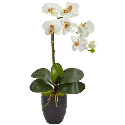 Indoor Phalaenopsis Orchid in Black Vase