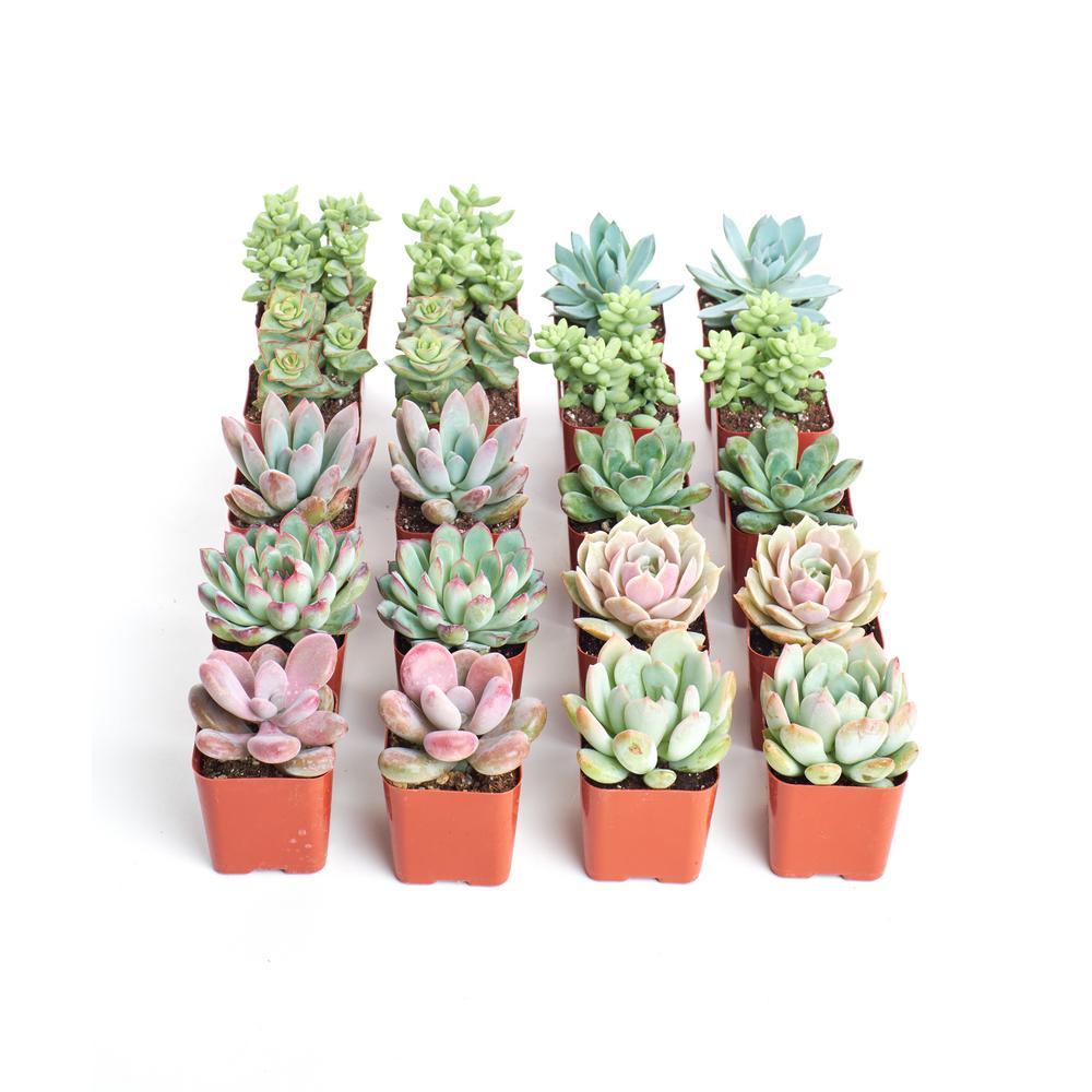 Home Botanicals 2 in. Premium Pastel Succulent (Collection of 20)