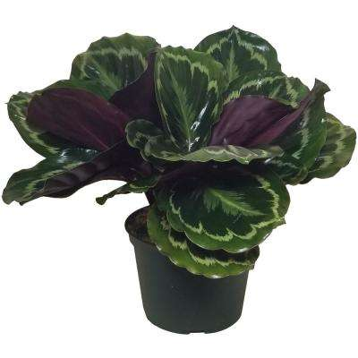 Medallion Calathea Plant in 6 in. Grower Pot
