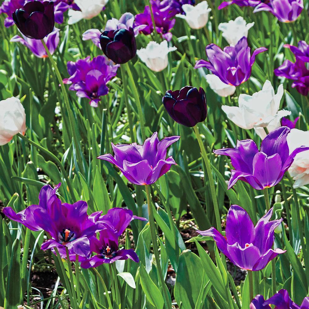 Spring Hill Nurseries Purple Flowering Lasagna Bulb Mixture 15 Pack