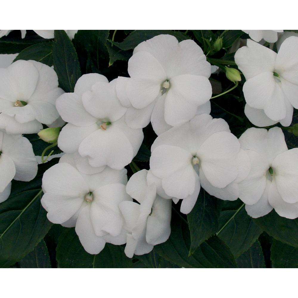 Impatien white annuals garden plants flowers the home depot infinity white new guinea impatiens live plant white flowers 425 in mightylinksfo