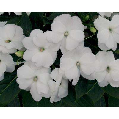Infinity White (New Guinea Impatiens) Live Plant, White Flowers, 4.25 in. Grande, 4-pack
