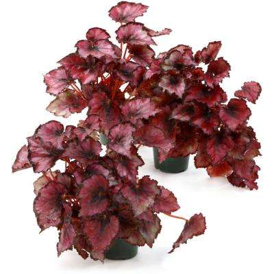 4 in. Red Robin Begonia Plant