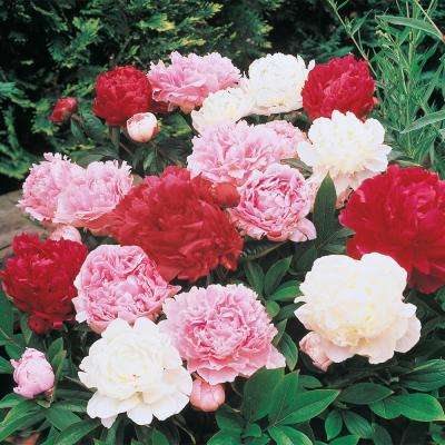 Double Peony Mixed Plant (5-Pack)