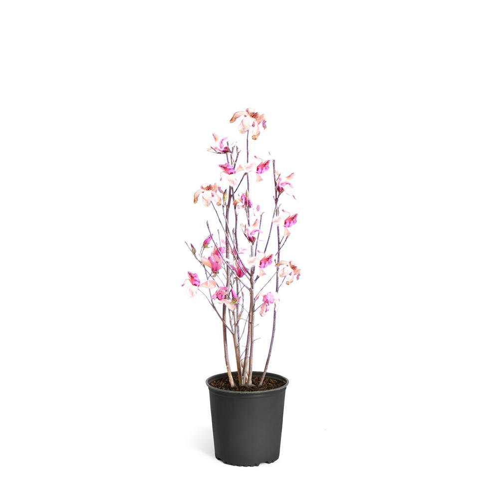 Brighter Blooms 2 Gal Purple Jane Magnolia Tree Mag Jan 34 2