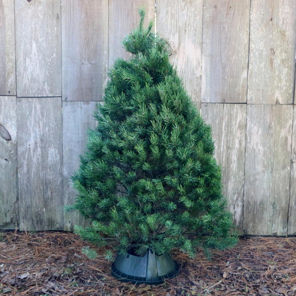 5 ft. Freshly Cut Scotch Pine Real Christmas Tree