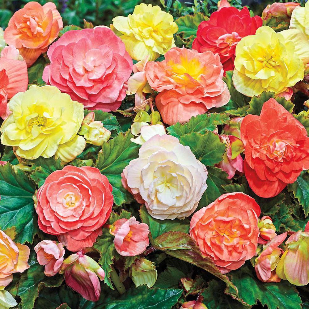 Multi-Color Flowers Pastel Begonia Bulb Mixture (5-Pack)