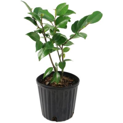 2.5 Qt. High Fragrance Camellia Japonica Plant with Pink Blooms