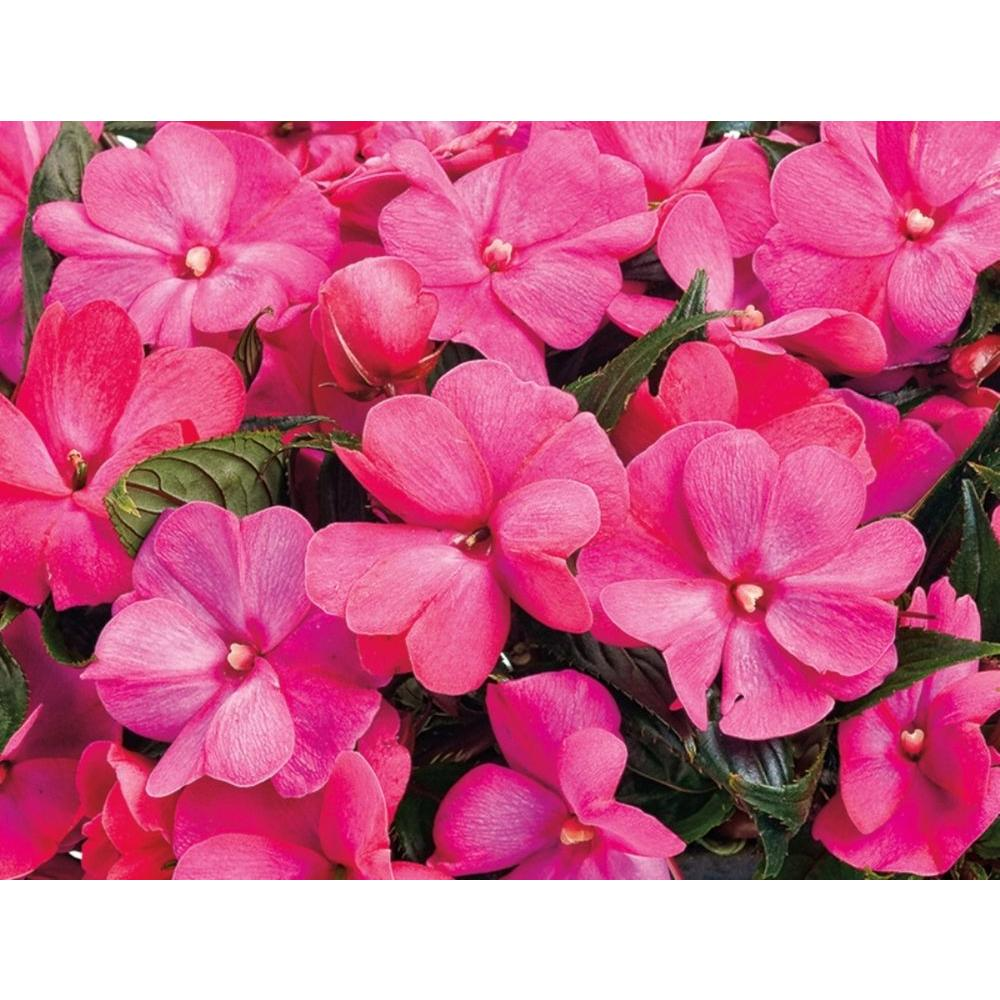 Flowers that bloom in shade - Infinity Electric Cherry New Guinea Impatiens Live Plant Bright Pink Flowers 4 25