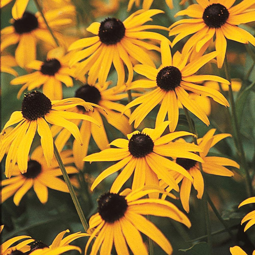 Spring Hill Nurseries 3 In Pot Black Eyed Susan Rudbeckia Live