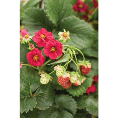 4.25 in. Grande Berried Treasure Red Strawberry (Fragaria) Live Plant, Red Strawberries (4-Pack)