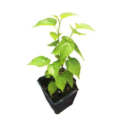 Dwarf Mulberry Plant in a 4 in. Pot
