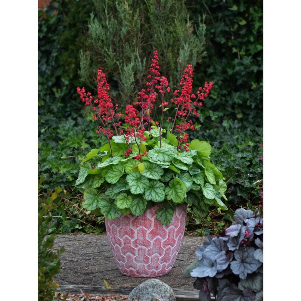 Proven winners 45 in qt dolce appletini coral bells heuchera dolce appletini coral bells heuchera live plant mightylinksfo