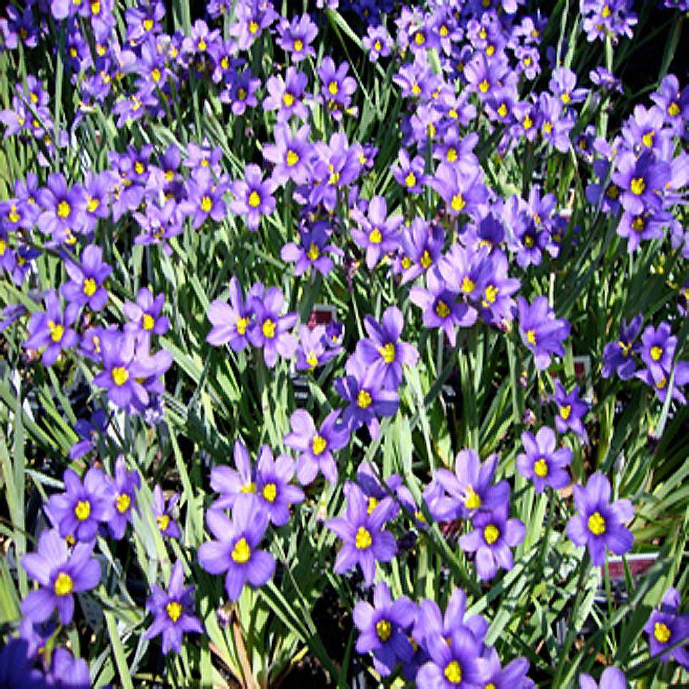 Purple perennials garden plants flowers the home depot lucerne blue eyed grass plant mightylinksfo