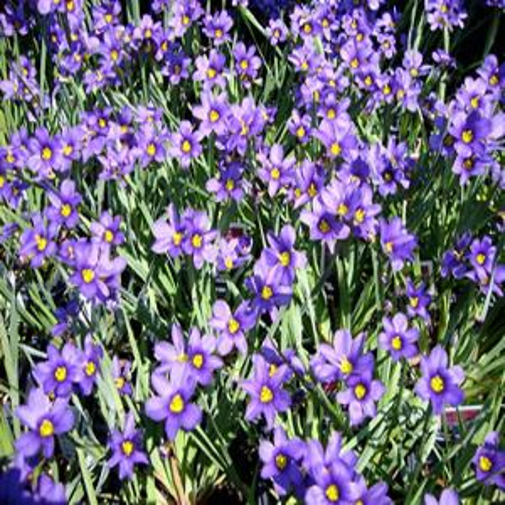 1 gal. Lucerne Blue-Eyed Grass Plant