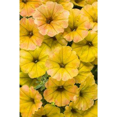 4.25 in. Supertunia Honey (Petunia) Live Plant, Yellow and Pink Flowers Grande (4-Pack)