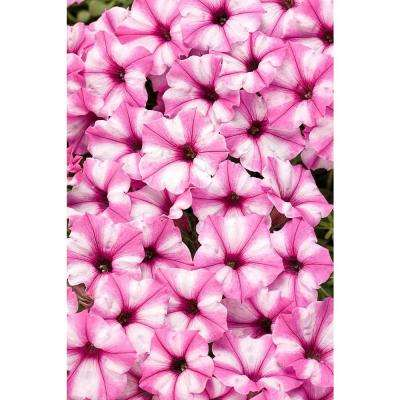 Supertunia Pink Star Charm (Petunia) Live Plant, Light Pink and White Striped Flowers, 4.25 in. Grande